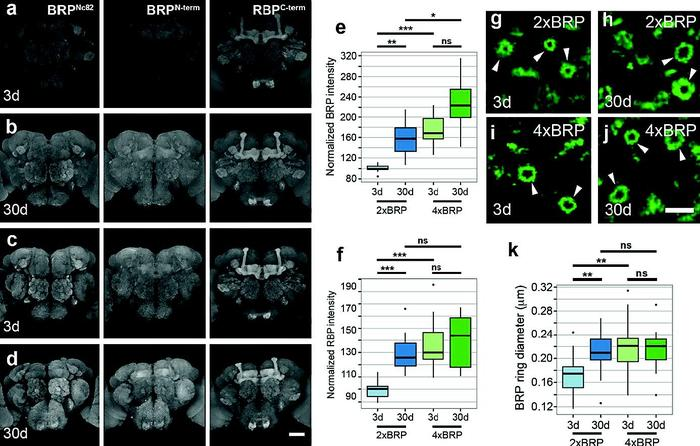 Ultrastructural, opto-physiological and behavioral analysis of synaptic organization within the aging Drosophila olfactory system.